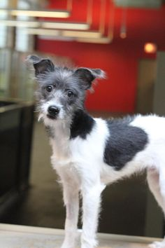 Meet Lancaster, a Petfinder adoptable Italian Greyhound Dog | Chicago, IL | Lancaster is a 4 month old IG/terrier mix. He LOVES other dogs and all people, and is a happy,...