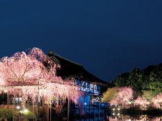 平安神宮夜間特別拝観