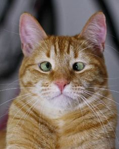 Jarvis The Adorable Cross-Eyed Ginger Cat | Army Kitty