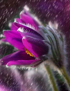 Purple rain Art Print by okopipidesign Purple Daisy, Purple Flowers, Flowers Nature, Floral Flowers, Lilac, Outdoor Training, Daisy Wallpaper, Rain Wallpapers, Gothic Garden