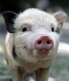 Cute piglet! Awwwwww so adorable!