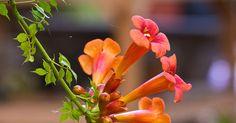 In unseren Gärten wirkt die Trompetenblume mit ihren großen Blütenkelchen wie ein Exot. Dennoch ist sie winterhart und im Hochsommer ein besonderer Blickfang.