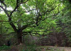 Lohjansaaressa sijaitsevan Paavolan tammen luona on maaginen tunnelma.