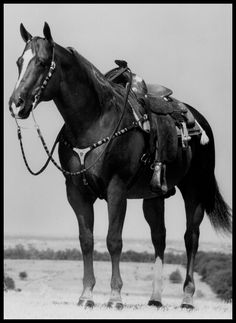 Zippo Pine Bar was one of the most prolific pleasure horse sires in history, sitting atop the leading sires list for more than a decade. He was inducted into the Hall of Fame in 2000. Learn more about the AQHA Hall of Fame inductees at http://aqha.com/en/Foundation/Museum/Hall-of-Fame/Hall-of-Fame-Inductees.aspx