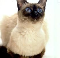 The Balinese Cat Breed:  Balinese cats are smart, sweet, and fun to be around. Like the Siamese, they are known for their ability to communicate vocally, sometimes ...