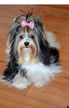 The Popular Pet and Lap Dog: Yorkshire Terrier - Champion Dogs Chien Yorkshire Terrier, Biewer Yorkshire, Yorkies, Yorkie Puppy, Teacup Yorkie, Corgi Puppies, I Love Dogs, Cute Dogs, Yorky Terrier