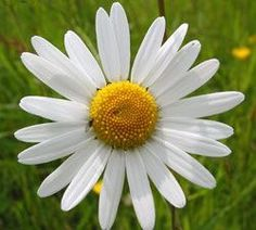 Single pretty Daisy
