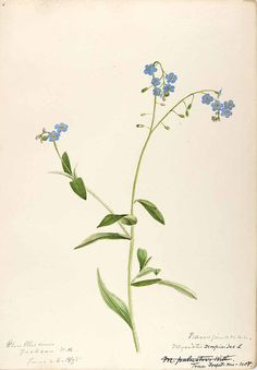 206610 Myosotis scorpioides L. / Sharp, Helen, Water-color sketches of American plants, especially New England,  (1888-1910) [Helen Sharp]