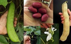 Giant Pink Sword Bean Canavalia Gladiata Seeds