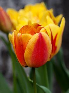 Tulipan Apeldoorn's Elite - 5 szt. - Sklep Świat Kwiatów | Dostawa gratis!