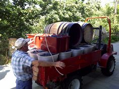 Grapes just harvested ready for the wine making process.