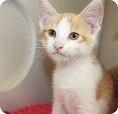 Medina, OH - Domestic Shorthair. Meet KITTENS, a kitten for adoption. http://www.adoptapet.com/pet/11074108-medina-ohio-kitten