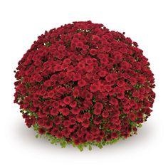 Themis Red