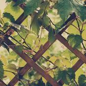 Plante grimpante vivace : liste - Ooreka Zoom, Jacuzzi, Spa, Gardens, Vine Yard, Patio, Plants, Human Height, Whirlpool Bathtub