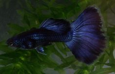 blue delta tail guppy - can range in color from light sky blue to dark, almost black