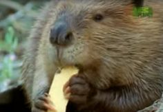 This video by Animal Planet describes how Beavers create their dams! Aligned to K.ESS2.2.