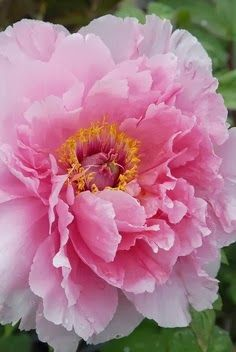 Peony-originally from England, but now part of the well dressed Southern garden.