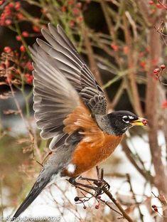 #12 American Robin - seen at my house in Hillsboro 01-02-2017