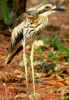 Bush Stone Curlew - my favorite friends from the Whitsundays, such amazing eyes Australian Bush, Australian Birds, Amazing Eyes, Cool Eyes, Sea Birds, Wild Birds, Cardinal Birds, Kinds Of Birds, Insects