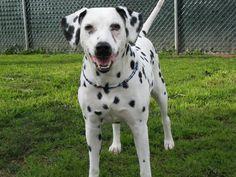 Raza de perros dálmata HD | FotosWiki.net