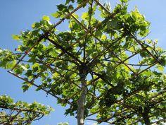 Laubgehölze in Dachform bieten einen tollen Sonnenschutz im Garten - hier beginnt die Krone schon zu wachsen