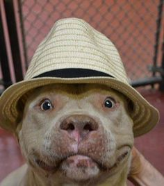 oh my dog! Is he cute or what? (who can resist a Pittie smile?)