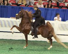 WC Marc of Charm...American Saddlebred