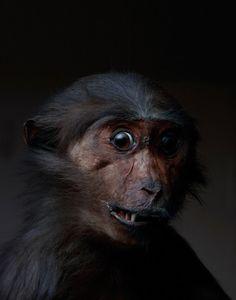 Orangutan ** Brand New In Box** Beneficial To The Sperm Orange/blue Furby 2012