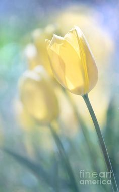 Yellow Tulips Photograph by Juli Scalzi Flowers For Algernon, Yellow Tulips, Pastel Flowers, Flower Wall, Summer Beach, Fine Art America, Natural Beauty, Daisy, Bloom