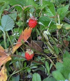 Wild Strawberry(Fragaria virginiana);Wood Strawberry(F.vesca);Coastal Strawberry(F.chiloensis) are all edible berries