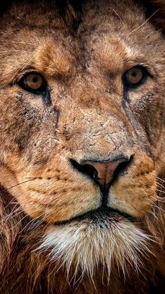 See my collection of awesome iPhone and android lion wallpapers and background images in - Get instant access FREE! Animal Wallpaper, Wallpaper Lockscreen, Desktop Backgrounds, Cellphone Wallpaper, Wallpapers, Big Cats, Cute Cats, Jaguar, Animals And Pets