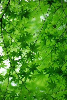 Green maple leaves with teh sun shining through