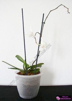 orchidej s odkvetlým květním stvolem Dyi, Flora, Planter Pots, Home Decor, Gardening, Baby, Tips, Lawn And Garden, Babies