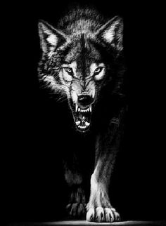 Look at this savage beast isnt he scary! This angry wolf is sure to keep anyone away from touching your phone! Easy free new live wallpaper. Wolf Images, Images Gif, Wolf Pictures, Bing Images, Arktischer Wolf, Dire Wolf, Disney Art Drawings, Wolf Walking, Walking Tall