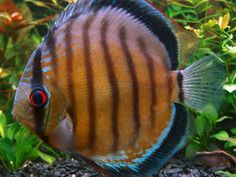Summary: Good aquarium guides for Salt Water Aquarium are not easy to find but I can offer you good ebook to this topic . Biotope Aquarium, Discus Aquarium, Discus Fish, Freshwater Aquarium Fish, Aquariums, Saltwater Aquarium Setup, Big Aquarium, Aquarium Design, Pretty Fish