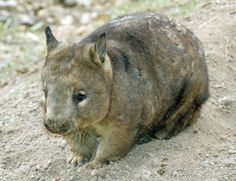 "explosionsoflife: "" When viewed head-on, the southern hairy-nosed wombat (Lasiorhinus latifrons) looks like a combination of a normal wombat and a pig, leading my friend to dub these creatures. Tasmania, Common Wombat, French Man, Australian Animals, Armadillo, Secret Life, Brown Bear, Animal Kingdom, Animals Beautiful"