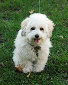 Tacy my Coton de Tulear - one year old!