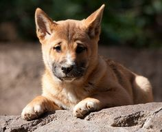 New Guinea singing dog pup