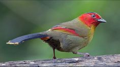 A team of bird-watchers stumbled upon a bird that hasn't been seen in eastern Nepal for almost 200 years. The red-faced liocichla (Liocichla phoenicea) hasn't been spotted for 178 years and was thought to be locally extinct, according to Australian Geographic.
