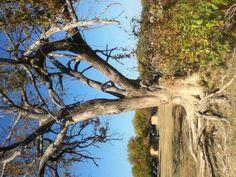 Tree at lake Lewisville