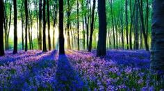 Forest Flowers Fragrance Blue Nice Summer Scent Trees Nature Carpet Beauty Beautiful Lovely Rays Pretty Delight Full HD 1080p Background