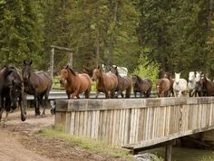 Horses coming in from exercise at Spotted Horse Ranch #wyoming #horses #vacation http://www.ranchseeker.com/Search/SpottedHorseRanch