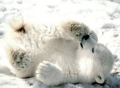baby polar bears!!! my favorite :)