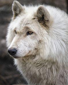 Sweet white Wolf at species parade licking everyone...long nose, legs, tail joy!