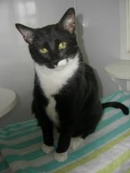 Luke is an adoptable Domestic Short Hair Cat in Indiana, PA. Hello, My name is Luke. I've had a kinda rough past several months. My brother and I were adopted last year from FFF. Then our family could...