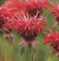 How to Grow Bergamot From Seed - Growing Bee Balm Monarda from Seeds - West Coast Seeds