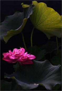 This is beyond beautiful.   Lotus Flower