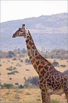 Giraffe neck up view