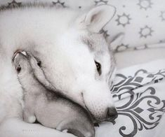 My Husky, Dogs, Animals, Animales, Animaux, Animal Memes, Animal, Pet Dogs, Dog