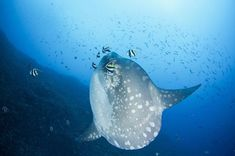 #Molamola (aka #Sunfish)season is coming soon in Nusa Penida.  Who is planning to find them?